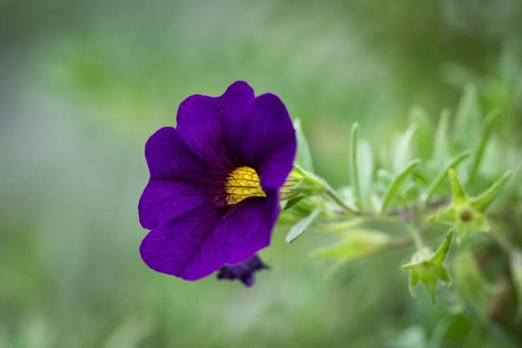 Image of Purple