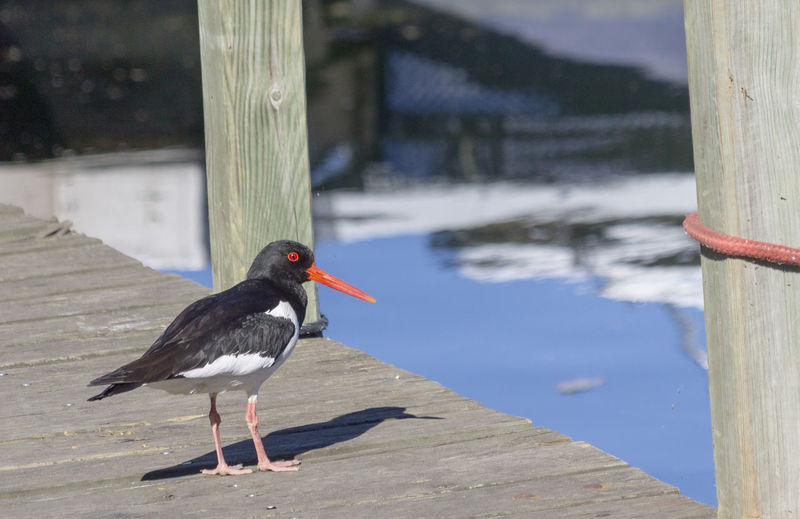 Oystercatcher by the water Animal Bird Focus On Foreground Lake No People One Animal Oystercatcher Water Wood - Material