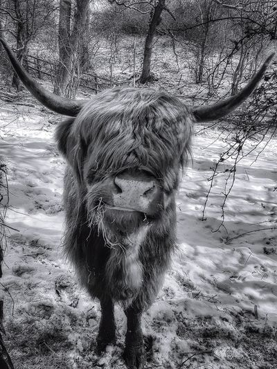 I love this guy a different edit of a picture I have had on before Country Park Malephotographerofthemonth Creative Light and Shadow Winter Scene In Park Wildlife Photography Portrait Photography Black And White Photography Back And White Nature monochrome photography Highland Cattle. Landscape Highland Cattle Portrait Close-up