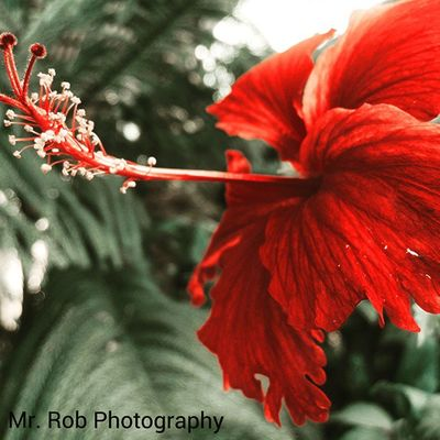 A beautiful flower clicked by me and edited by me. MrRobPhotography Redlove Red Flower Beautifulflower