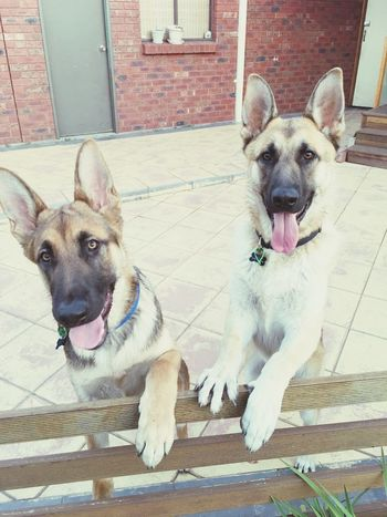 My boys Love Puppies Besties Germanshepherd Happy Loyal Protective My Boys