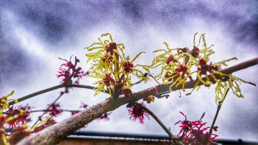 Witch Hazel Witchy Beautiful Nature Delicate Beauty Delicate Flowers Spring Has Arrived My Favorite Things Smellsgood Herbs Medication Old Craft
