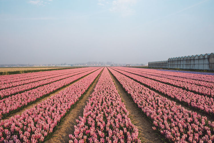 Springtime Decadence Hyacinth Flowers Agriculture Field Plant Sky Rural Scene Nature Growth Landscape Land Beauty In Nature Freshness Flower Farm Flowering Plant Environment In A Row No People Day Red Tranquility Flowerbed Purple