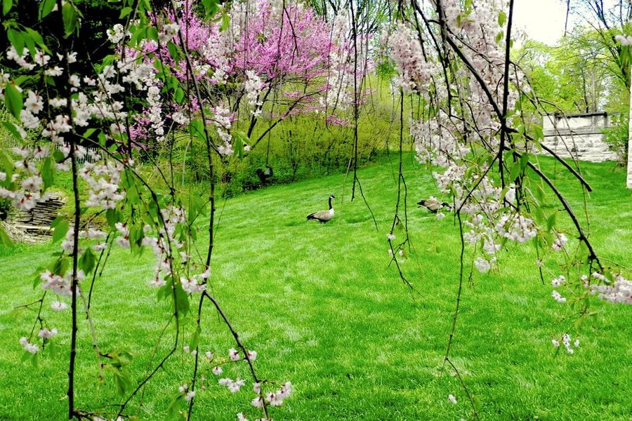 Flowers And Geese Beauty In Nature Flower Geese Grass Grassy Green Color Landscape Lush Foliage Nature Scenics Tranquil Scene The Great Outdoors - 2016 EyeEm AwardsHenry Ford Estate Dearborn Michigan Courtyard  Geese Family Goose Gooses Gooses Family Flowering Trees Trees Pink Flower White Green