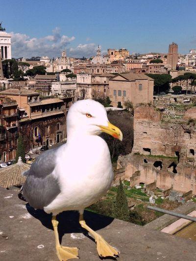 Seagull Animals