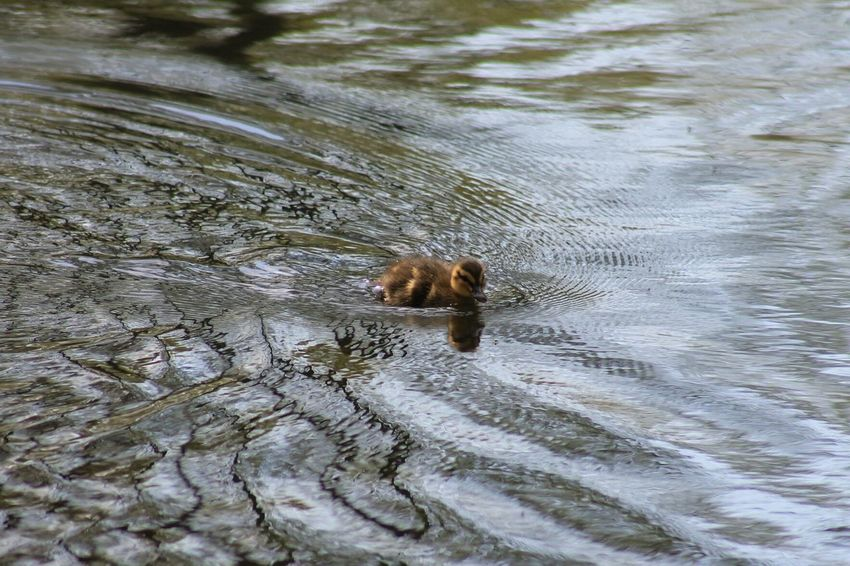 Cute Baby Ducks Sweet New Life Check This Out Enjoying Life Park Nature Photography Nature_collection Just Taking Pictures Nofilter Nature Duck Water Hello World Kuikens