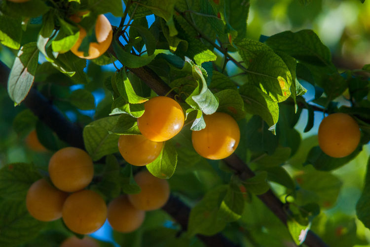 Cherry Plum South Close-up Day Focus On Foreground Food Food And Drink Freshness Fruit Fruit Tree Green Color Growth Healthy Eating Leaf Nature No People Orange Color Outdoors Plant Plant Part Ripe Summer Tree Unripe Fruit