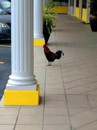 Chicken Rooster In The City Animal Themes Bird Grand Cayman One Animal Rooster Shopping Mall