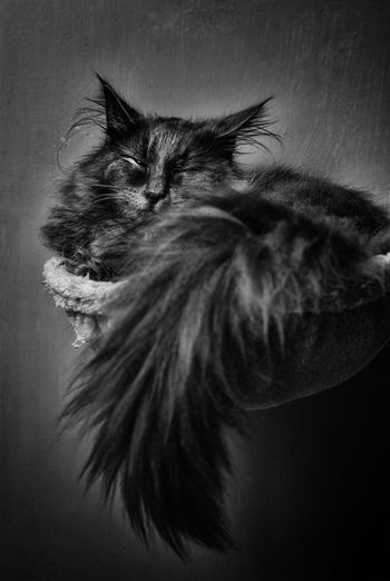 My fluffy cat Norvegianforrestcat Pets Studio Shot UnderSea Close-up Domestic Cat Maine Coon Cat Cat Feline At Home