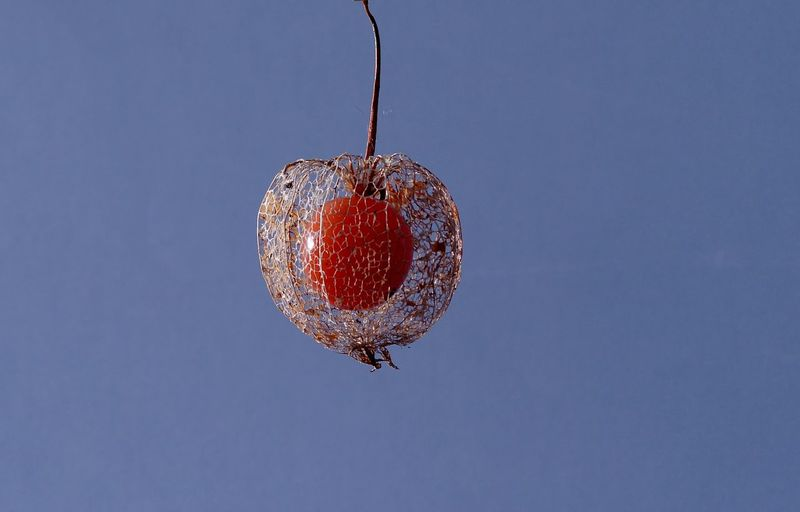 Close-up of winter cherry hanging against clear sky