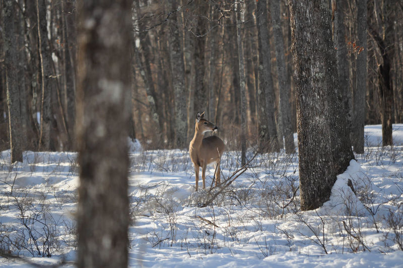 Whitetail Doe Deer in the Woods Deer Pennsylvania Animal Themes Animal Wildlife Animals In The Wild Cold Temperature Doe Forest Hunting Nature No People One Animal Outdoors Poconos Snow Whitetail Winter