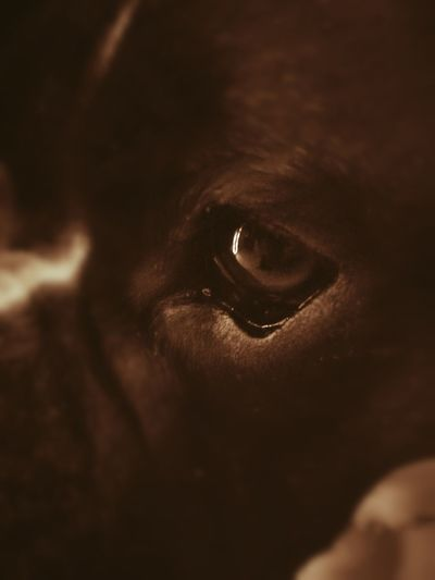 Eyeball Boxer Dog Boxerlove Truefriends Truelove Friend Eyes Sepia Photography Macro Photography Brown Eyes Brown Dog Deep Thoughts Istra Croatia Close-up Eyesight