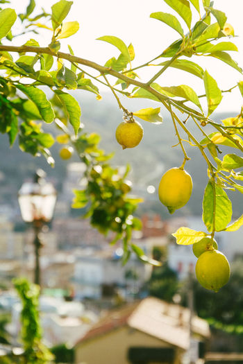 Yellow lemon tree Agriculture Branch Citrus Fruit Close-up Day Fermenting Focus On Foreground Food Freshness Fruit Growth Juicy Leaf Lemon Lemon Tree Nature No People Outdoors Tree Yellow