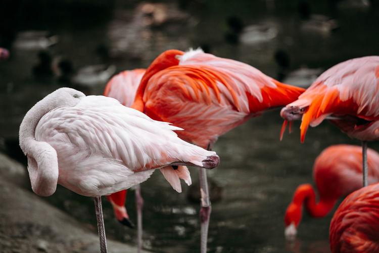 Flamingos in a lake close up