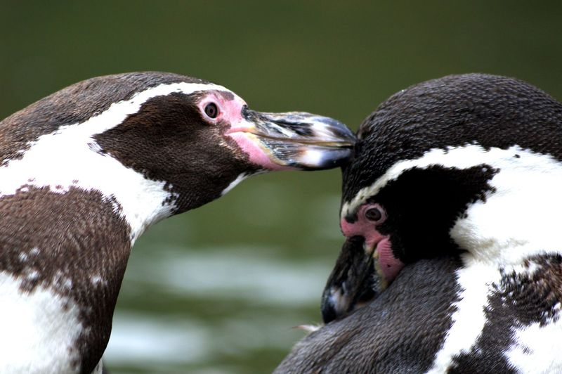 Close-Up Of Playful Humboldt Penguins