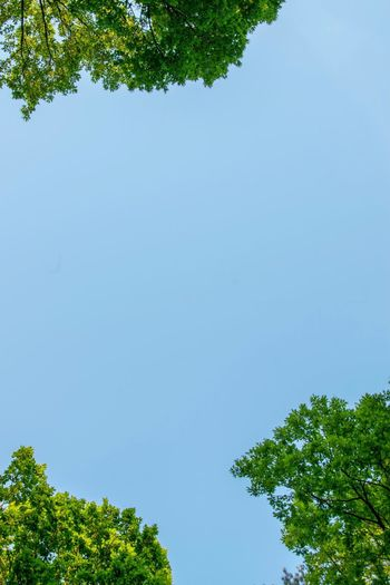 FROM BELOW. Tree Green Color Low Angle View Growth Nature Clear Sky Day Beauty In Nature Blue Outdoors No People Branch Sky Motivation Inspirational