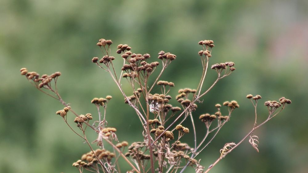 drying wild tansy flowers against abstract green field Autumn Colors Exceptional Photographs Field Green Light Abstract Backgrounds Backgrounds Beauty In Nature Change Close-up Dried Plant Drying Fall Flora Flower Growth Many Nature Outdoors Plant Season  Tansy Wild Wilderness