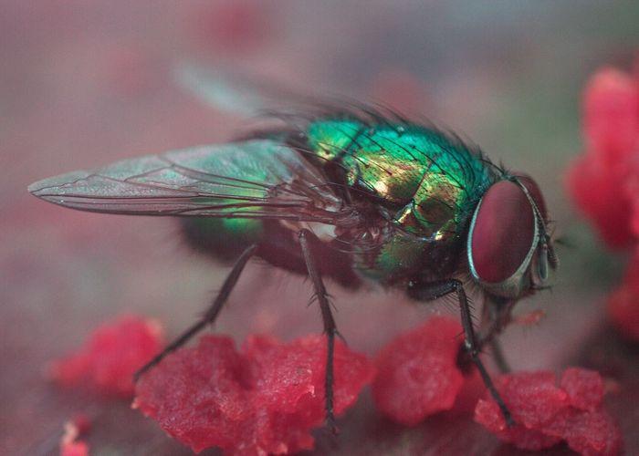 Fly eat apple