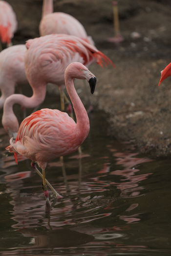 Side View Of Flamingoes