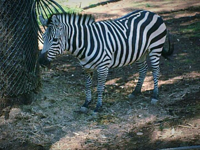 Oakland Zoo My Point Of View Nature Photography This Week On Eyeem Zebra Zebra Stripes