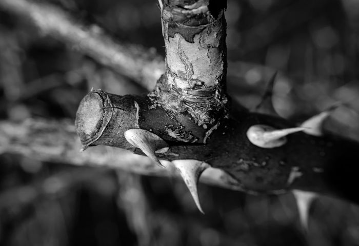 Harpoon Beauty In Nature Blackandwhite Close-up Day Focus On Foreground Fragility Monochrome Nature No People Outdoors Thorn