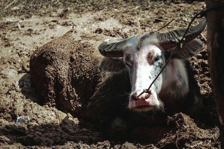 A $20.000 Toraja buffalo. Animal Themes Animal Photography Toraja Indonesia Etnics Animal Wildlife Animals Posing