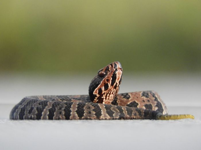 Close-up of cottonmouth snake