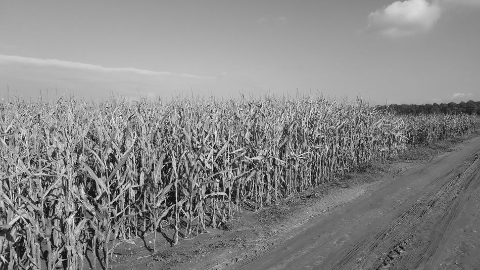 Sky Day Landscape Nature Agriculture Outdoors No People Corncob Field Beliebte Fotos Playing With Filters Smartphone Photography Beauty In Nature Agriculture Nature Food And Drink Brussels Sprouts Monochrome _ Collection Monochrome Photograhy Monocrhome