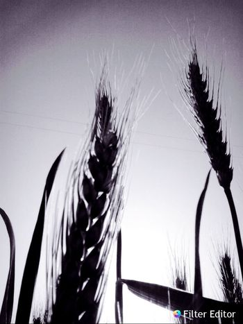 Trigal Blackish Trigo Nature Photography Agriculture Photography