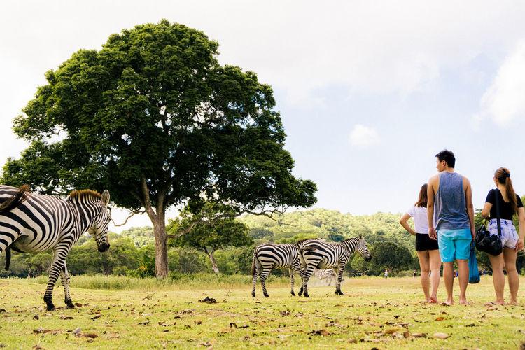 Rear view of zebra walking on a field