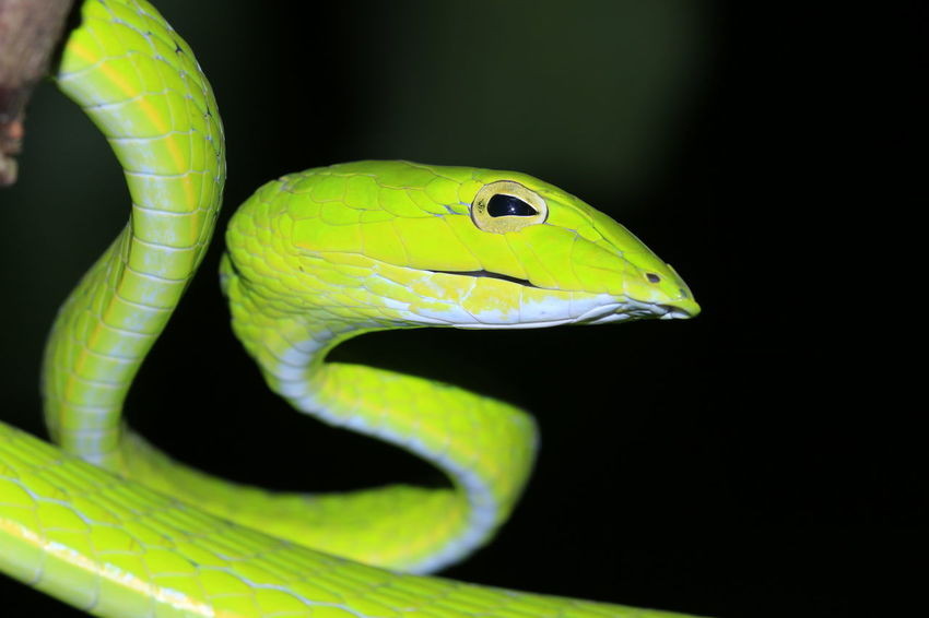 Green snake8 Close-up Snake Reptile Green Color Green EyeEm Best Shots Eye EyeEm Best Shots Black Background Reptile Close-up
