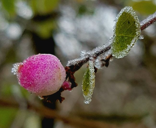 Berry. Winter. Frost. Ice. No People. Outdoors. Day