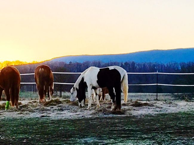 Winter in Tennessee Horses Animal Themes Domestic Animals Mammal Livestock Landscape Herbivorous Shades Of Winter Mountain Nature Beauty In Nature Sunset