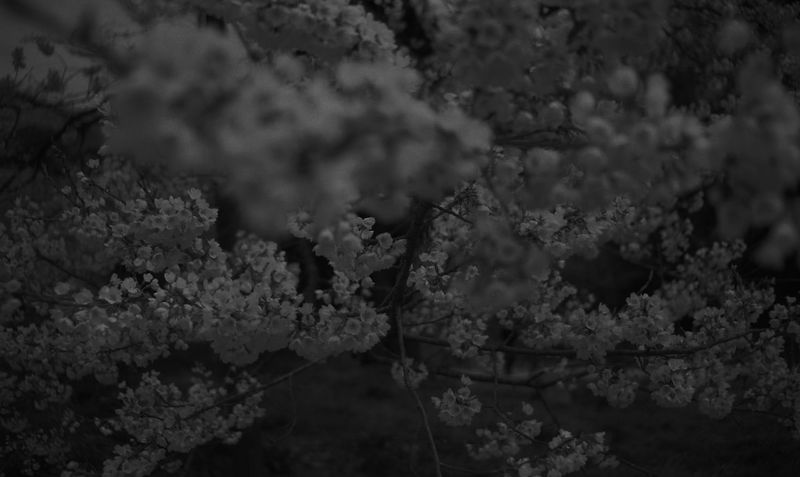 Black & White B&w Monochrome Monochrome Photography Cherry Blossoms Cerisier Japon Japan Japonism Japanesque EyeEmNewHere B&W✨ Black And White Friday B&w Photography B&w Photo Black & White Photography Monochromatic
