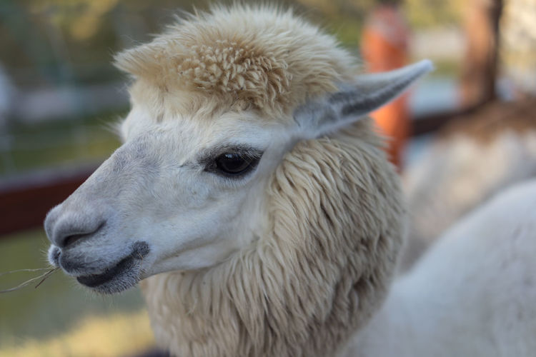 Alpaca Alpaca Alpacahill Animal Animal Head  Close-up Eating Mammal One Animal Relaxing Zoology