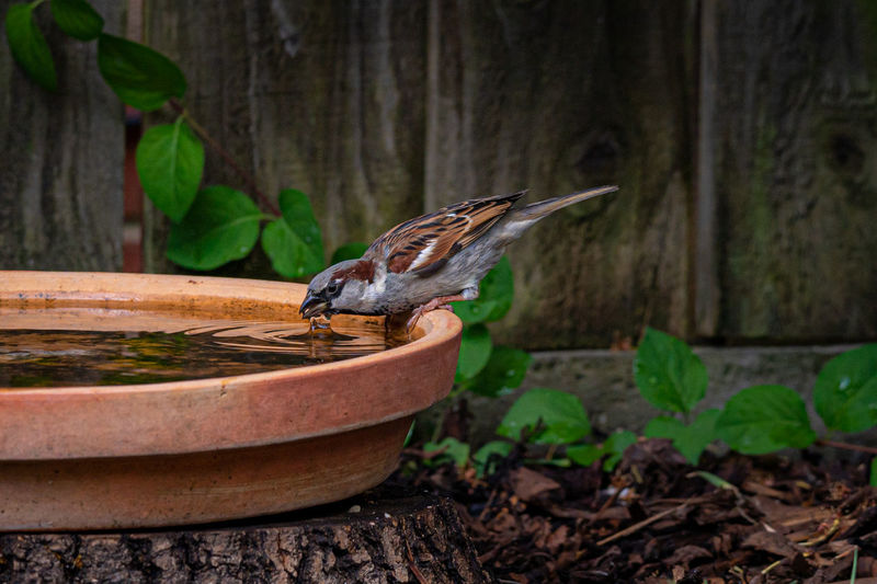 Male house sparrow, passer domesticus, drinking water