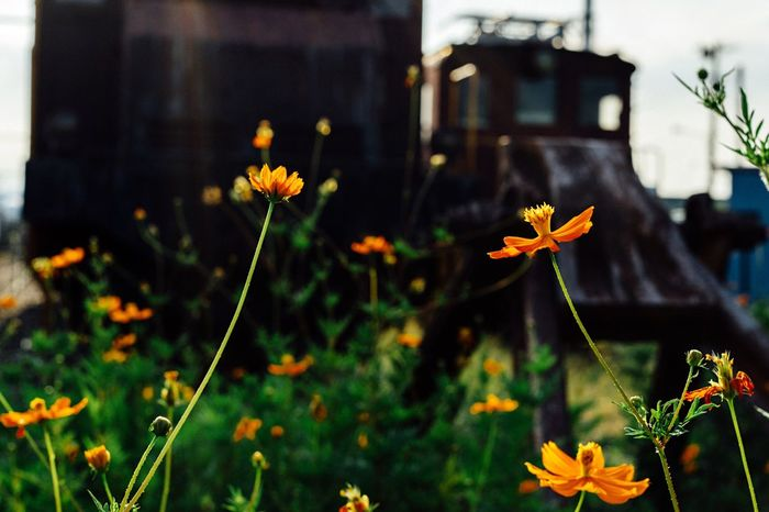 Beauty In Nature Atomosphere Flower Old Train Freshness In Bloom Yellow Steel August 2016 Capture The Moment Shizuoka Shizuoka,japan Electric Locomotive Old Station Old Trains Travel Summer ☀ Hot Day EyeEm Nature Lover EyeEm Best Shots - Flowers