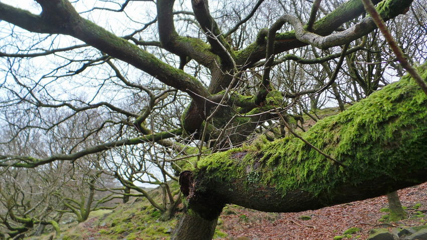 moss and oak Minimal Nofilter Green Moss Winter Day Yorkshire Countryside Tree Nature Branch Growth