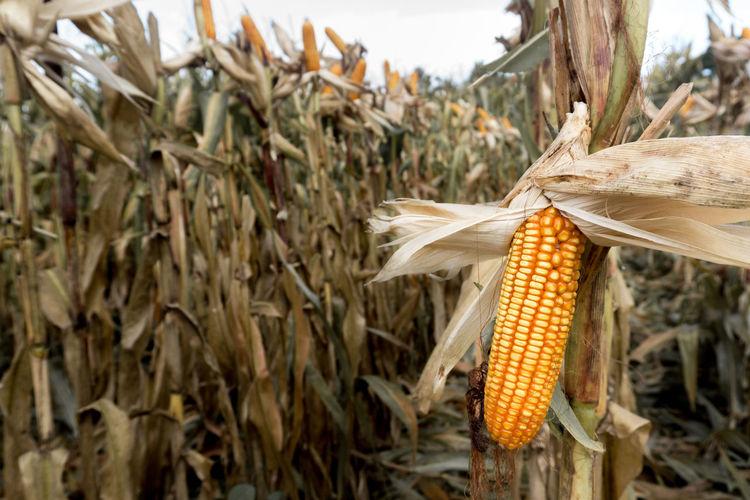 Corns On Farm