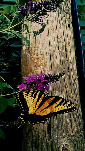 Colonial Heights Butterfly ❤ Butterfly Bush Nectar New Life & New Hope Flyaway Flowers,Plants & Garden Homesick  Home Sweet Home Freedom