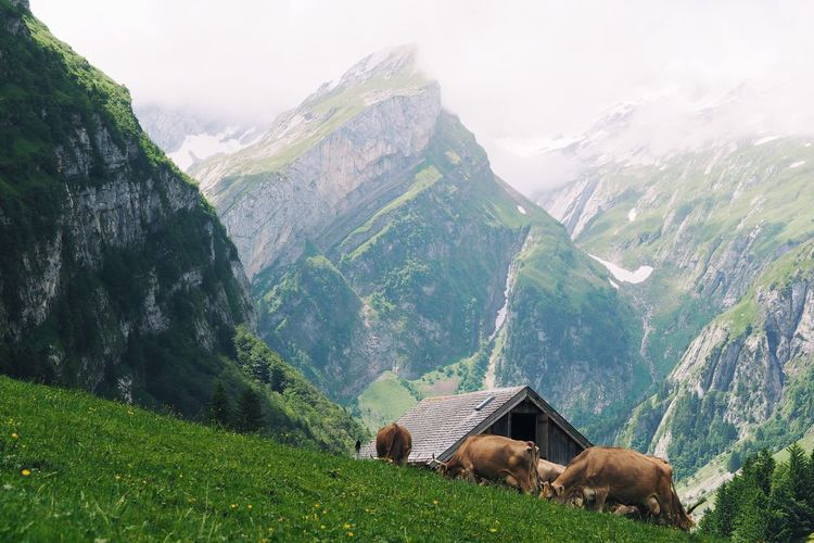 Wanderlust Tranquility Animals Cow Alps Mountain Mountain Range Outdoors Nature Non Urban Scene Day Summer From My Point Of View Beauty In Nature Beautiful View Tourist Destination Swiss Alps Hiking at Seealpsee Switzerland