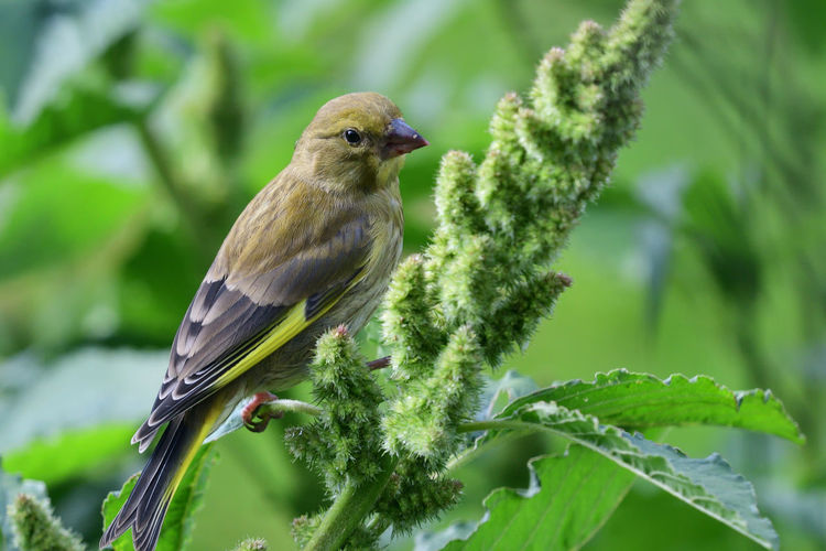 Animals In The Wild Check This Out EyeEm Best Shots EyeEm Nature Lover Nature Plant Taking Photos Animal Themes Animal Wildlife Beauty In Nature Bird Birds Close-up Day Focus On Foreground Green Color Greenfinch Millet Nature_collection No People One Animal Outdoors Perching Portrait Selective Focus