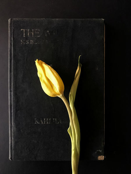 Black Background Book, Close-up Directly Above Flower Flower Head Flowering Plant Fragility Freshness Indoors  Nature No People Petal Plant Single Object Still Life Studio Shot Text Tulip Vulnerability  Yellow