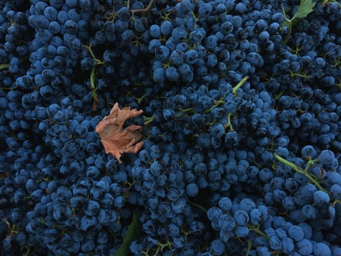 EyeEm Selects Grape Growth Fruit Vineyard Agriculture Bunch Plant Nature Leaf Autumn Vine - Plant Food And Drink Outdoors Winemaking No People Close-up Freshness Day Healthy Eating Blue