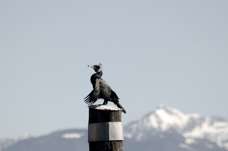 Cormorant on a pole Animal Themes Animal Wildlife Animals In The Wild Beauty In Nature Bird Clear Sky Cold Temperature Copy Space Cormorant  Day Mountain Mountain Top Nature No People One Animal Outdoors Pole Relexing Snow Snow-capped Sunny Tranquil Scene Tranquility Wood Pole