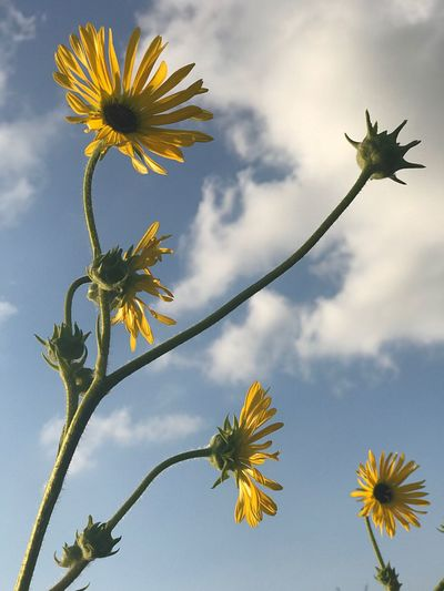 Low angle view of sunflowers on plant against sky