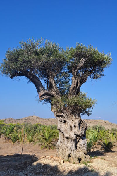 Olive tree on Zakynthos Olive Tree Arid Climate Beauty In Nature Blue Branch Clear Sky Day Desert Grass Growth Landscape Nature No People Olive Tree Blue Sky Olive Tree Collection Olive Tree Landescape Outdoors Physical Geography Scenics Sky Sunlight Tranquil Scene Tranquility Tree Tree Trunk