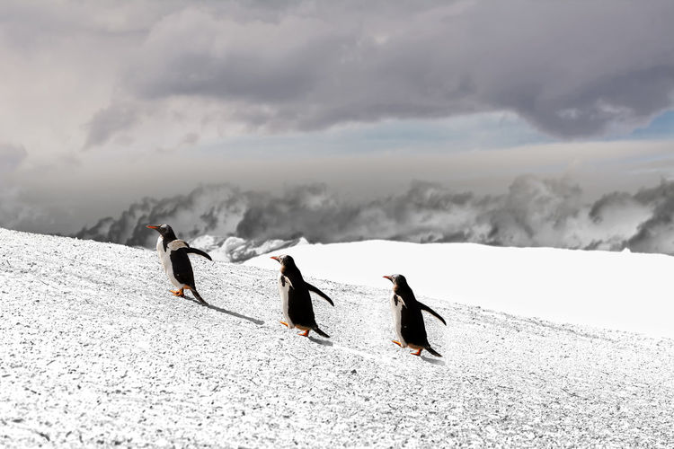 Penguins walking on snowy hill against cloudy sky