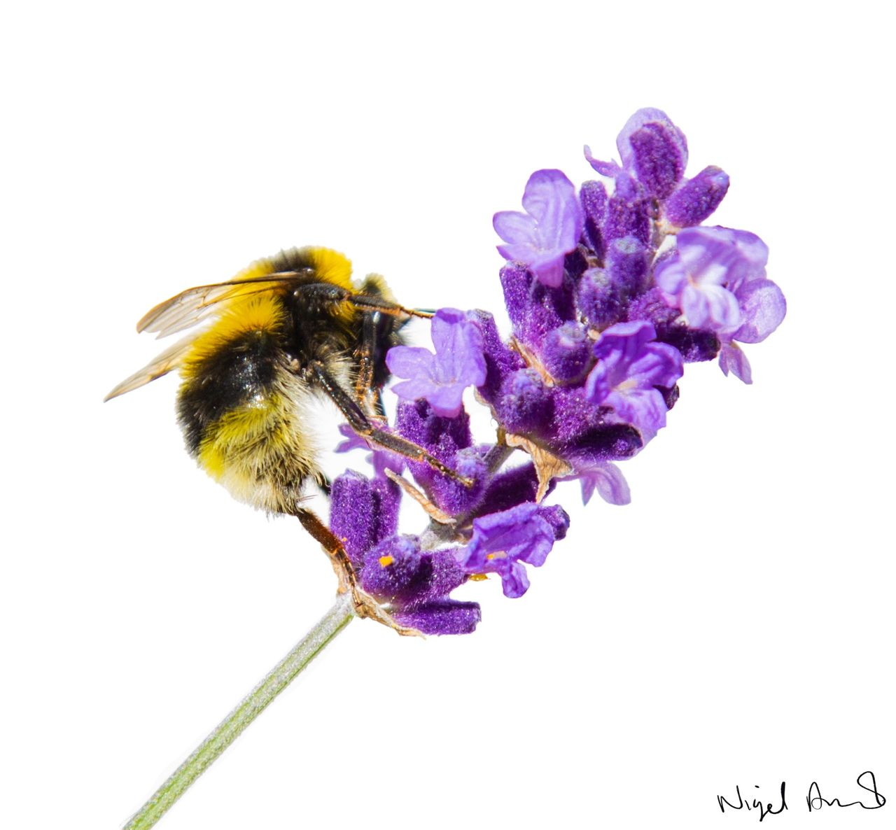 flower, flowering plant, fragility, petal, vulnerability, plant, beauty in nature, animal themes, bee, invertebrate, animal, purple, animals in the wild, close-up, insect, animal wildlife, flower head, studio shot, one animal, freshness, pollination, no people, bumblebee, lavender