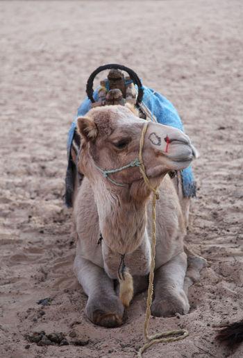 Camel relaxing at desert